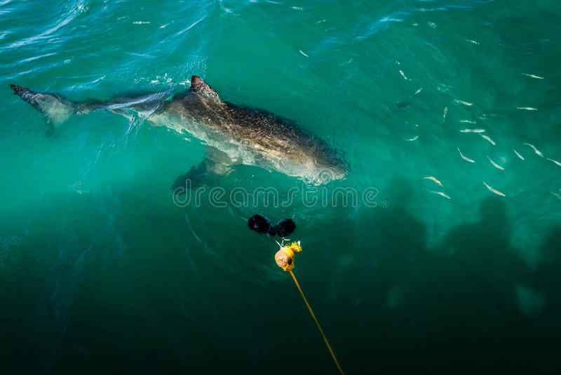 Primo piano subacqueo di grande squalo bianco osservato dalla barca immagini stock