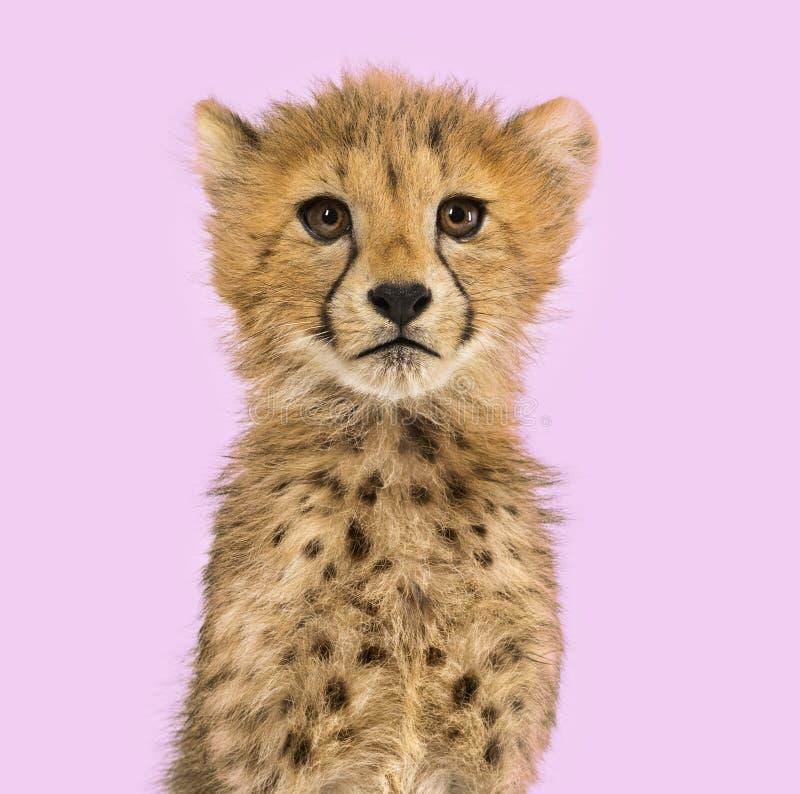 Primo piano sui cuccioli di un ghepardo di tre mesi fotografia stock libera da diritti