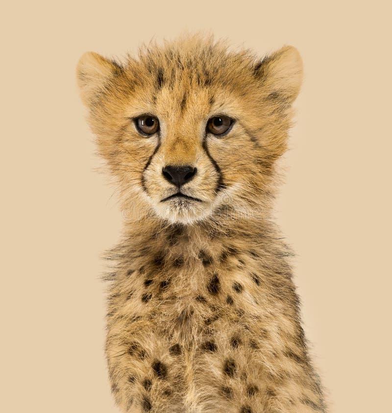 Primo piano sui cuccioli di un ghepardo di tre mesi fotografie stock libere da diritti