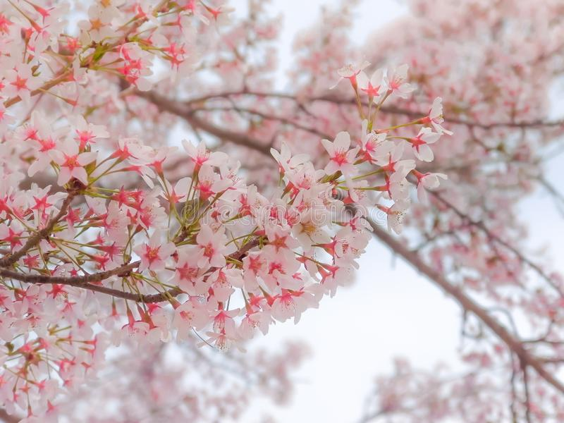 Primo piano sui fiori rosa giapponesi dei fiori di ciliegia di Sakura immagine stock libera da diritti