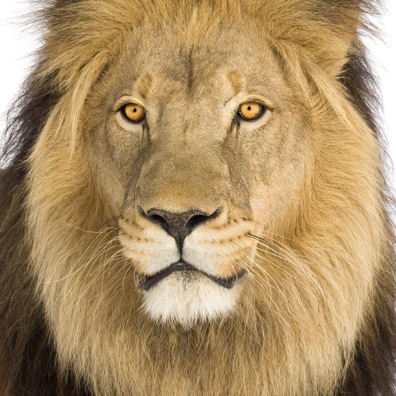 Primo piano sulla testa del leone (8 anni) - Panthera leo immagini stock