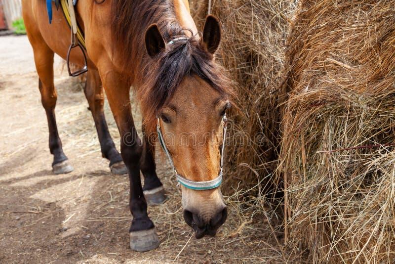 Primo piano sulla testa di un cavallo che mangia il fieno da una pila asciugata nel pomeriggio fotografie stock libere da diritti