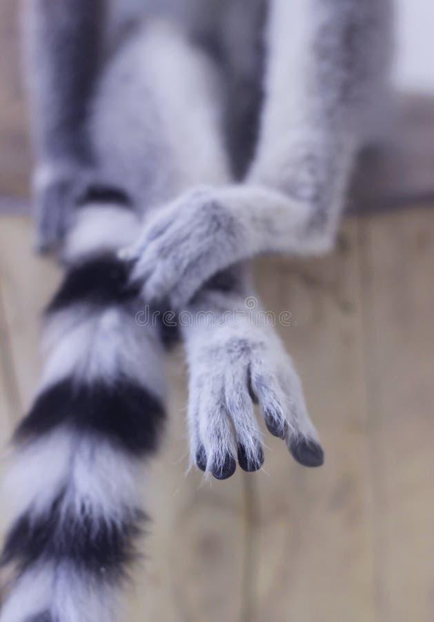 Primo piano sulle zampe lemure Grigio-nere, che si siedono su una canapa di legno fotografia stock