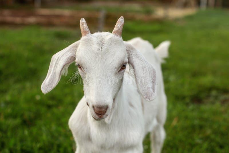 Primo piano - testa di giovane bambino della capra su erba verde, guardante straigh fotografie stock libere da diritti