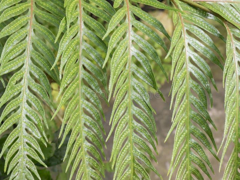 Primo piano tropicale della felce di verde della foglia fotografie stock