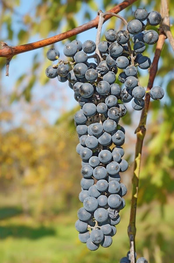 Primo piano un il mazzo di uva blu all'aperto fotografie stock libere da diritti