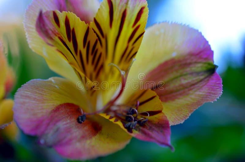 Primo piano variopinto del fiore della petunia fotografia stock libera da diritti