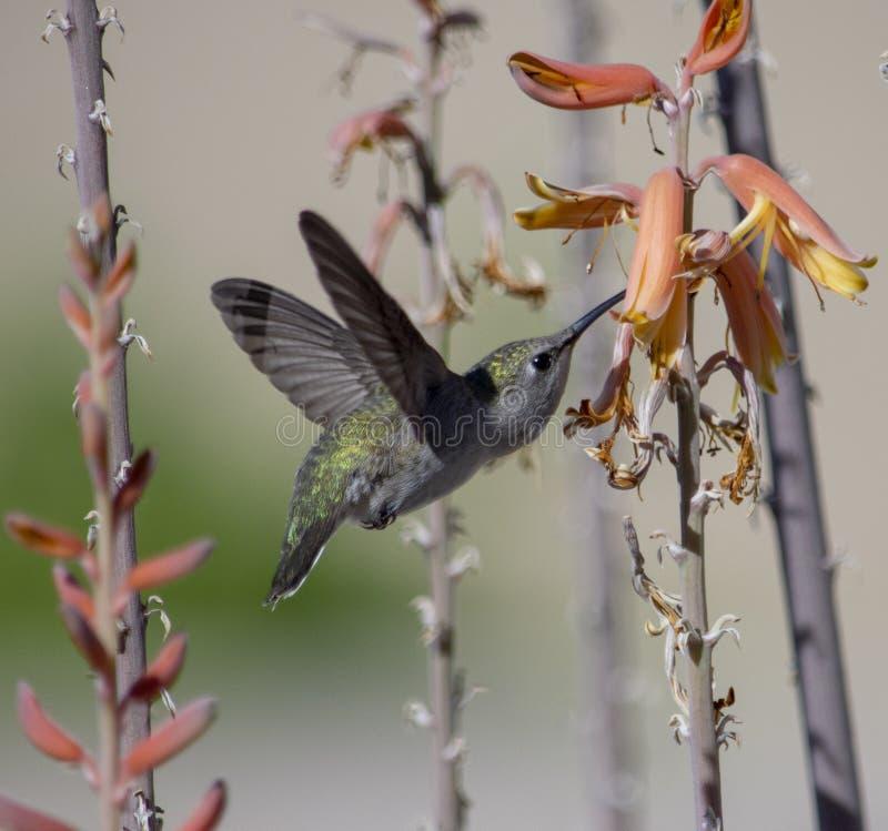 Primo piano verde del colibrì che si alimenta un aloe Vera immagini stock libere da diritti