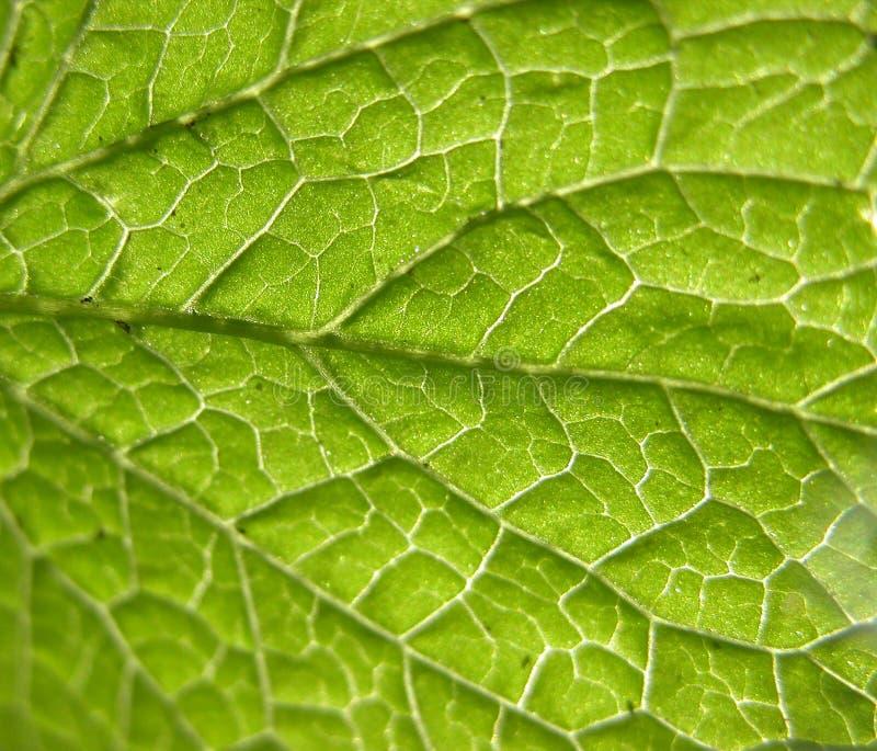 Primo piano verde del foglio fotografie stock