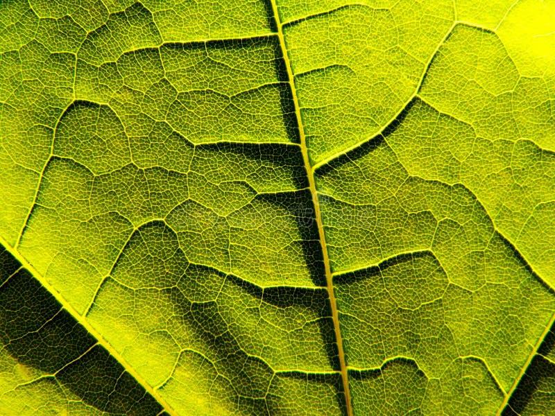 Primo piano verde del foglio fotografie stock libere da diritti