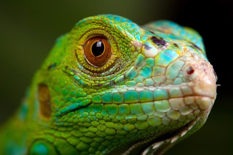 Primo piano verde dell'iguana immagini stock libere da diritti