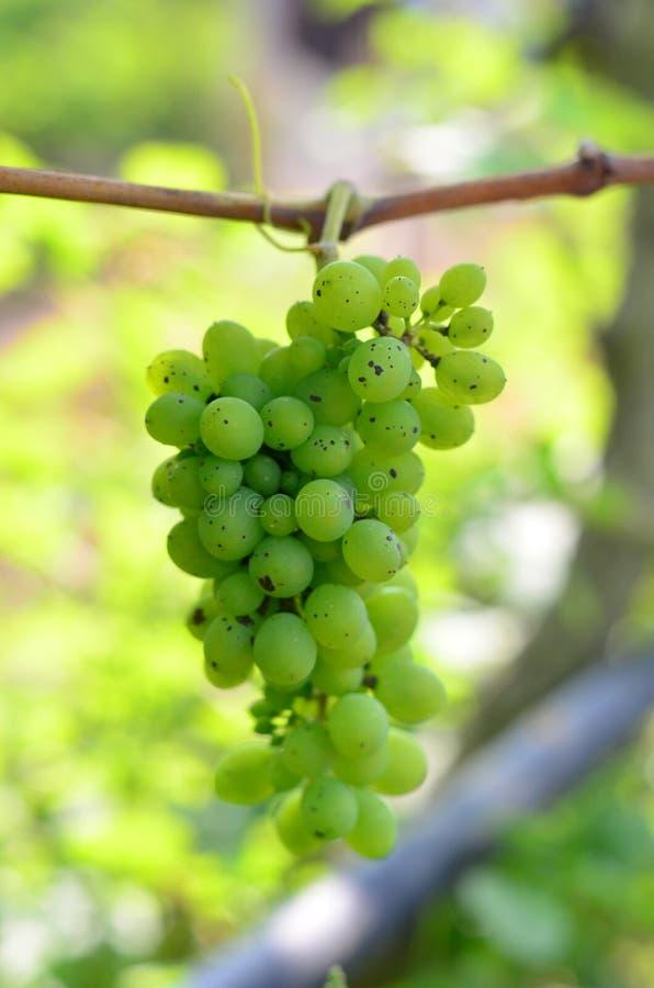 Primo piano verde dell'uva da una vigna fotografia stock
