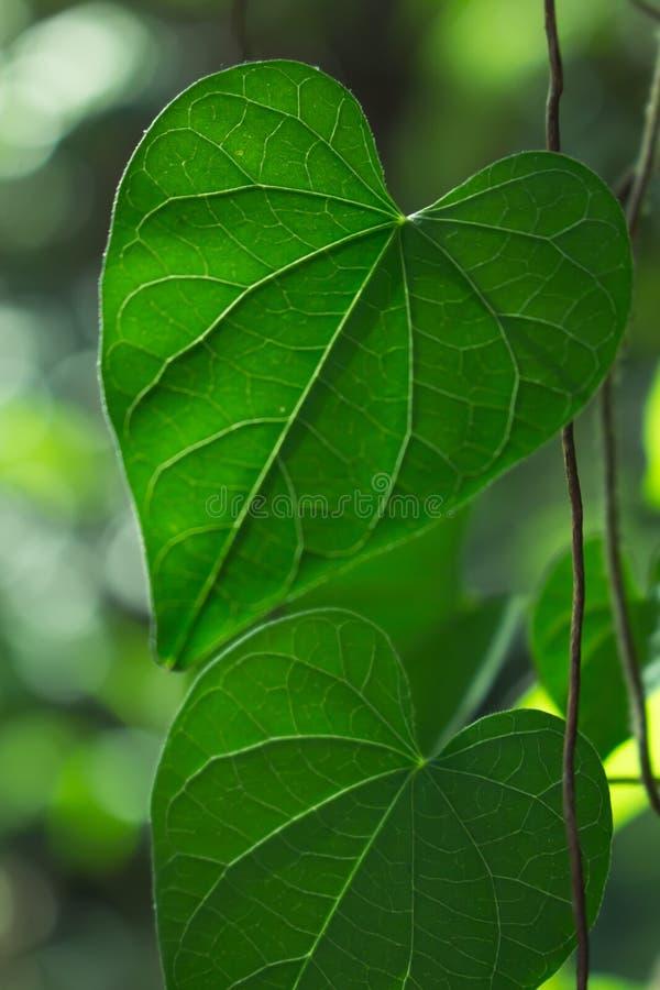 Primo piano verde della foglia, la foglia in natura immagini stock libere da diritti