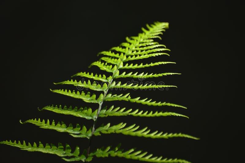 Primo piano verde delle foglie delle felci immagini stock