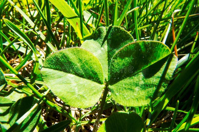 Primo piano verde naturale del trifoglio fotografia stock