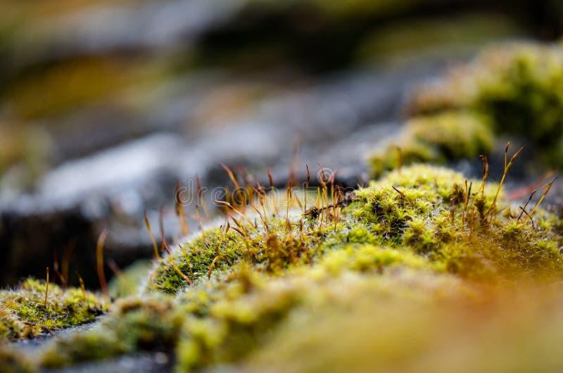 Primo piano, vista bassa del fuoco di crescita veduta muschio verde sulle mattonelle, su un tetto del cottage fotografie stock