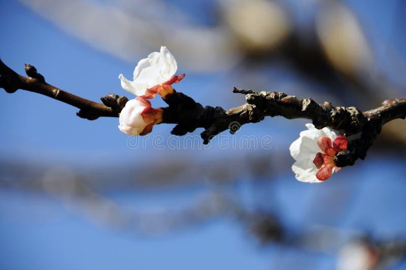 Primo segno della primavera: fiori bianchi su un albero da frutto dell'albicocca fotografia stock