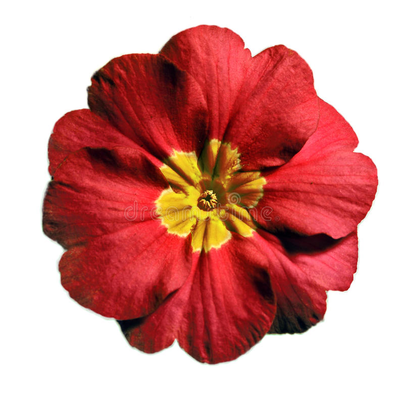 primrose κόκκινο στοκ εικόνα