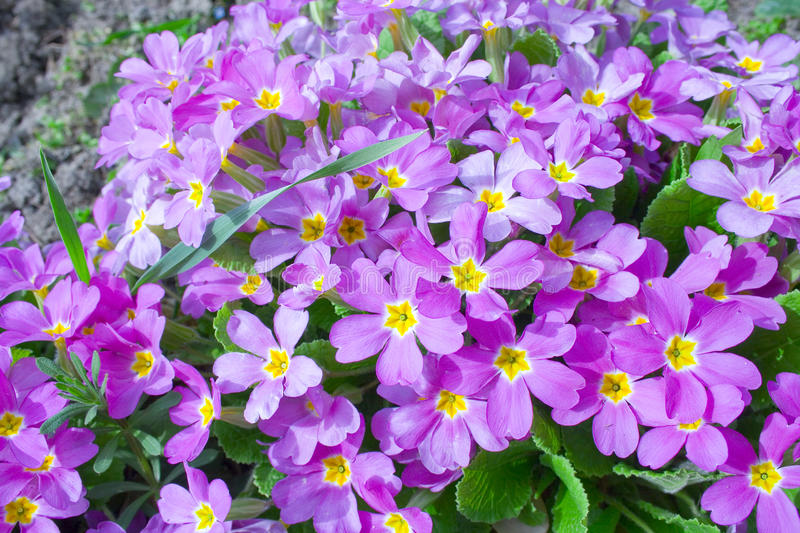 Download Primrose Stock Photo - Image: 10748600
