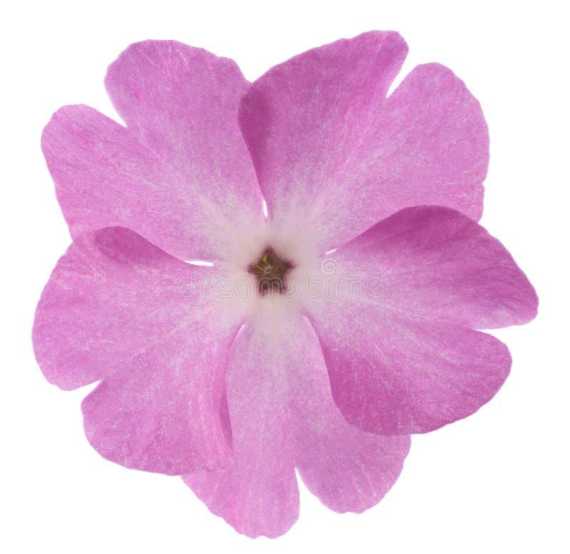 Primrose imagem de stock