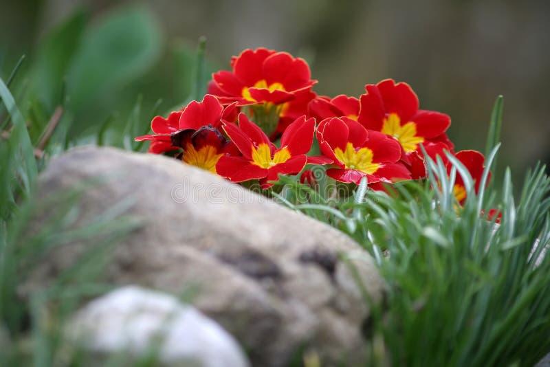 Download Primrose stock image. Image of plant, garden, stones, plants - 2108567