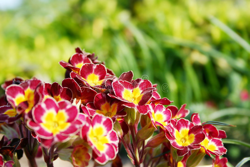 Download Primrose stock image. Image of beautiful, flower, gardening - 2300091
