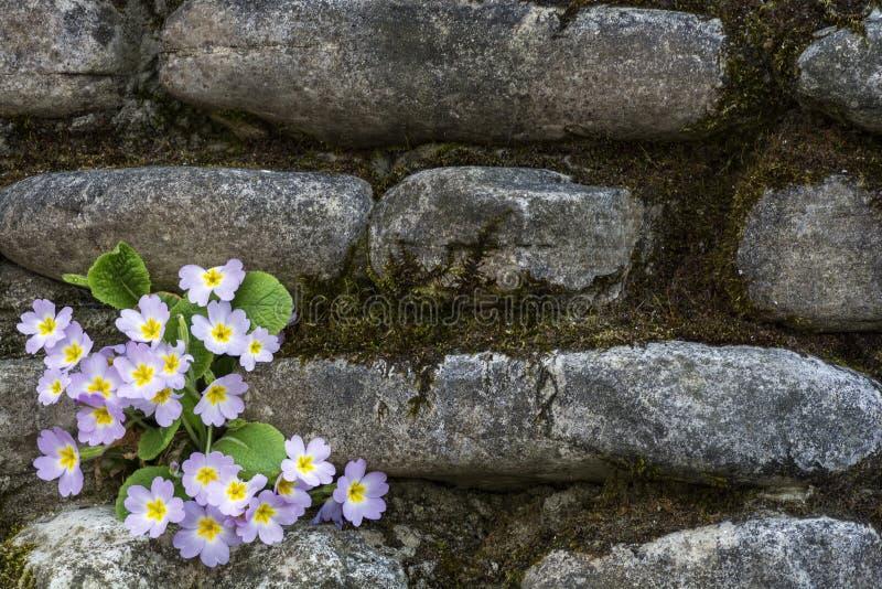 primrose στοκ εικόνες