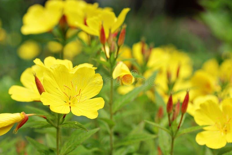 Primrose amarelo imagem de stock royalty free