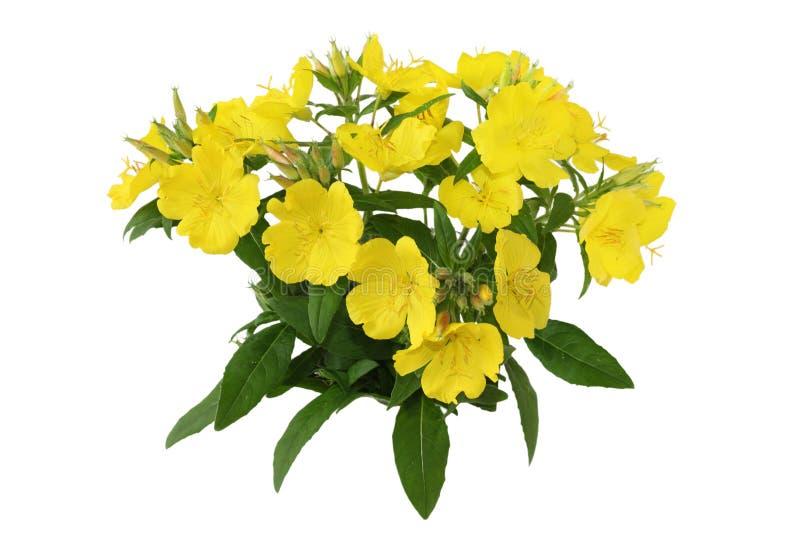 Primrose amarelo imagem de stock