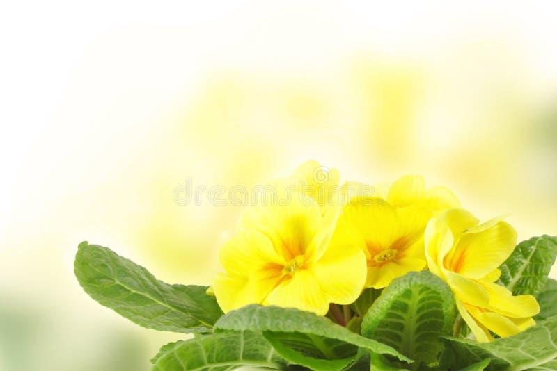 Primrose amarelo fotografia de stock royalty free