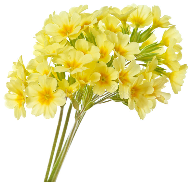 Primrose amarelo imagens de stock
