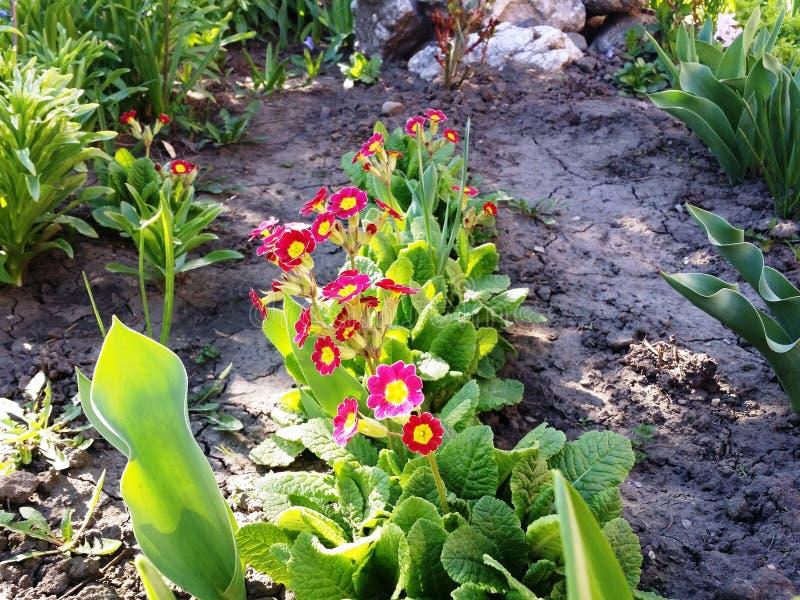 Primrose blooming . royalty free stock photography
