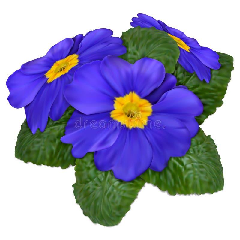Primrose flower. Blue-purple primrose flowers, mesh, white background vector illustration