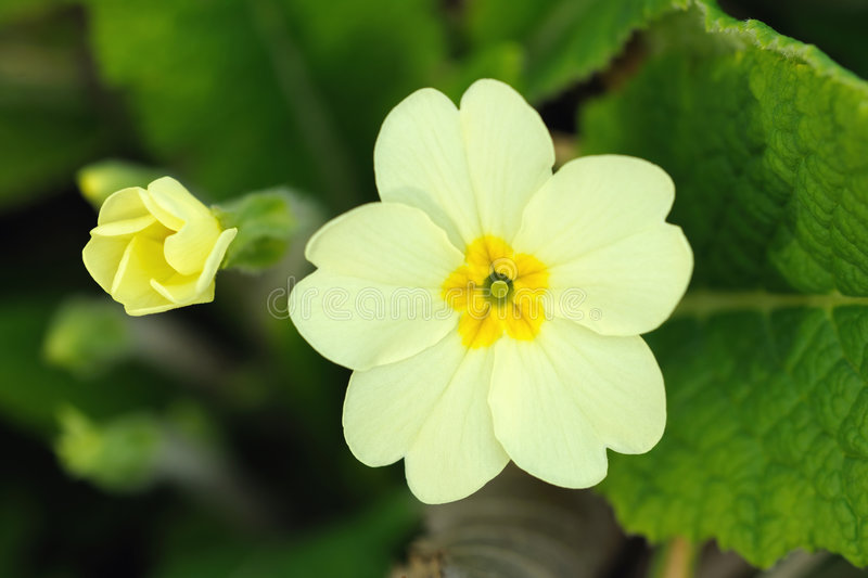 Primrose Flower And Bud  Primula Vulgaris  Stock Photo