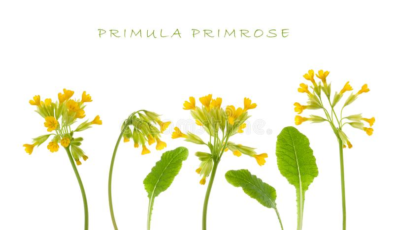 Primrose flower isolated. Set of yellow Primula flower on stem and green leaf isolated on white background stock photos