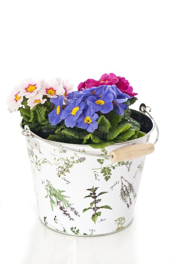 Download Primrose in flower pot stock image. Image of decoration - 24540505