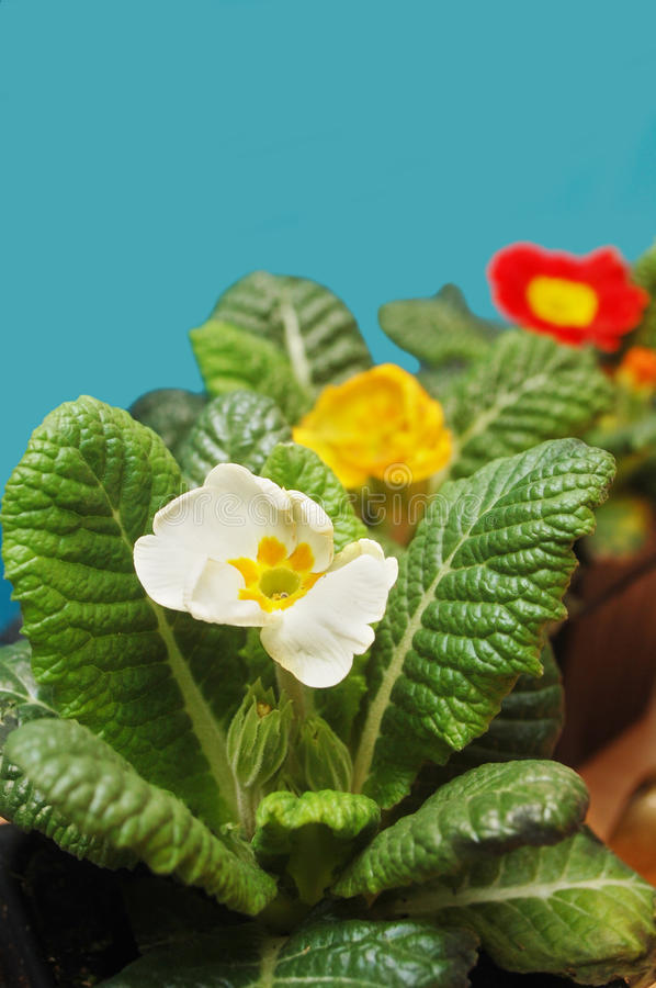 Primrose flowers stock photography