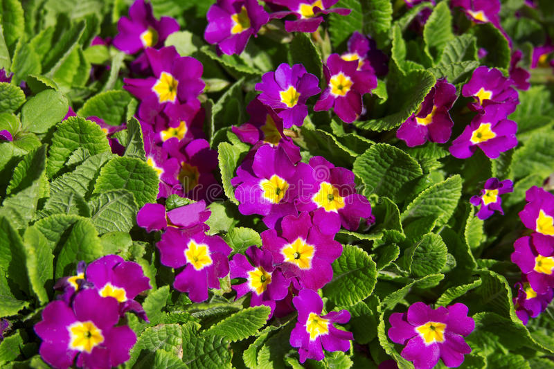 Primrose flowers background stock photography