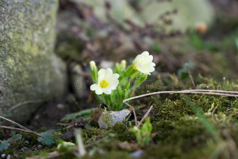 Primrose flowers and other spring flowers in grass in garden. Slovakia royalty free stock photography