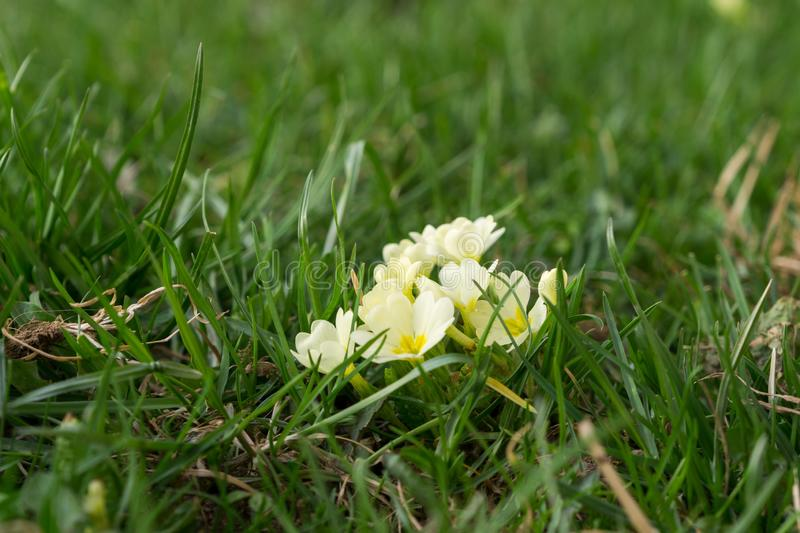 Primrose flowers and other spring flowers in grass in garden. Slovakia royalty free stock image