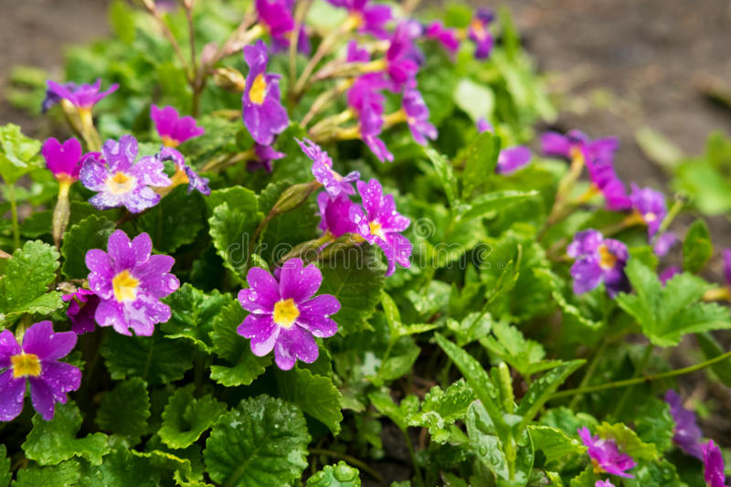 Primrose flowers purple with green leaves. Primrose flowers home purple with green leaves royalty free stock image