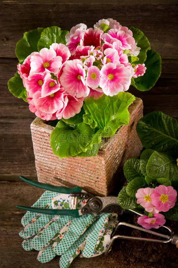 Primrose and garden utensil royalty free stock photos