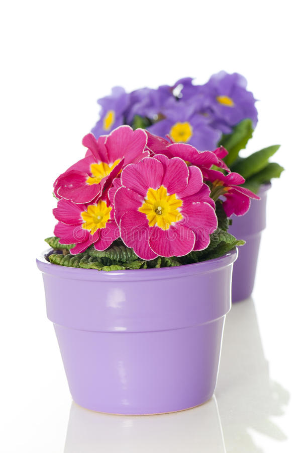 Free Primrose In Flower Pot Stock Image - 24540171