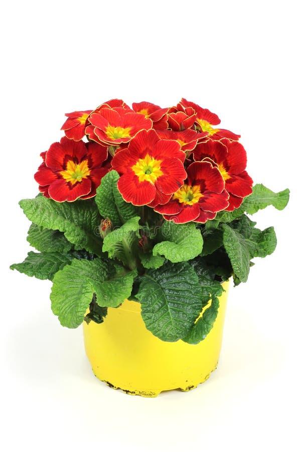 Download Primrose stock photo. Image of bloom, vulgaris, background - 67125594