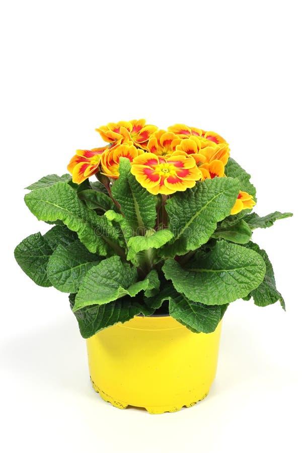 Download Primrose stock photo. Image of gardener, blossom, beautiful - 67125698