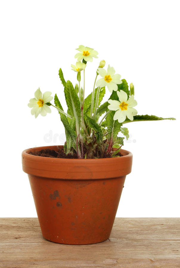 Download Primrose plant stock image. Image of terracotta, primrose - 24157055
