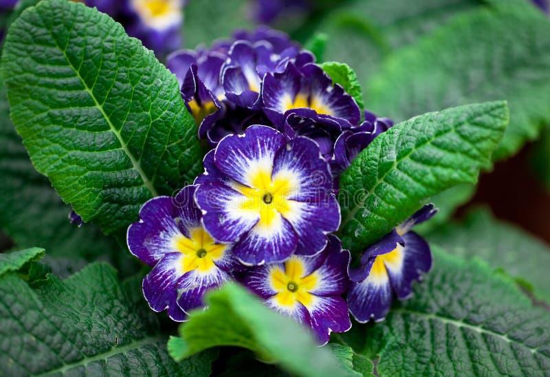 Download Primrose in a pot stock photo. Image of leaf, multi, indoors - 39506230