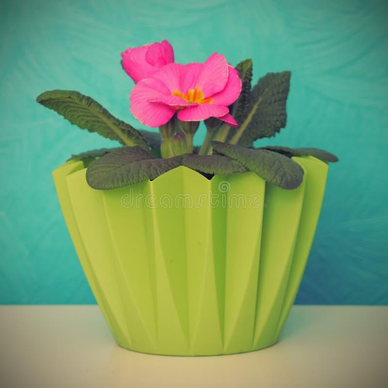 Download Primrose in pot stock photo. Image of close, ecologic - 32023192