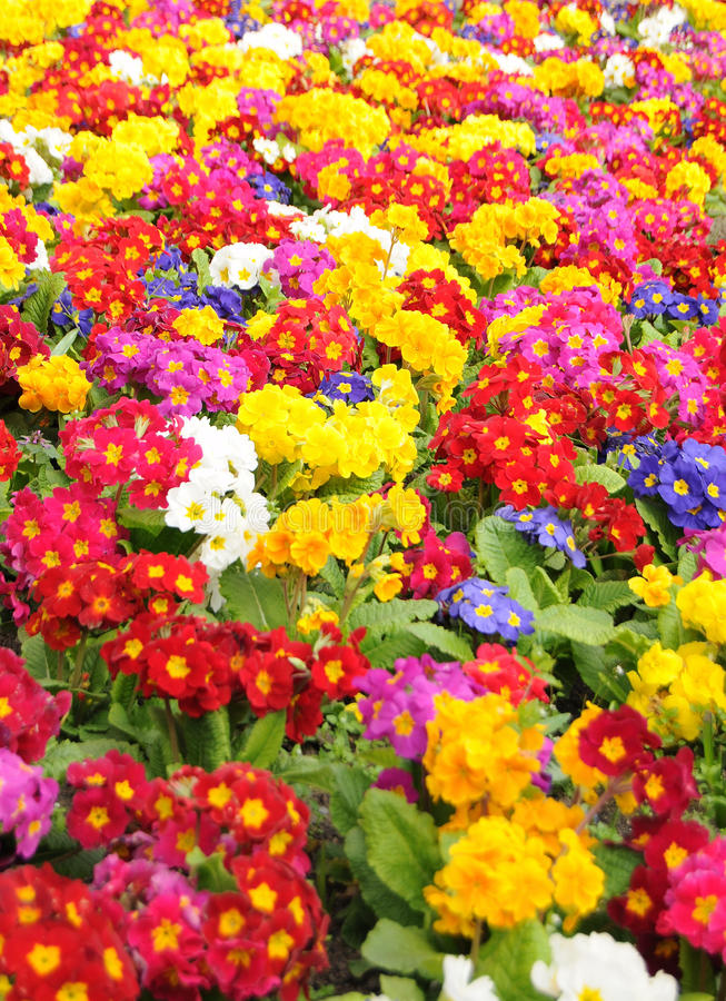 Free Primrose (Primula Vulgaris) Royalty Free Stock Image - 13892656