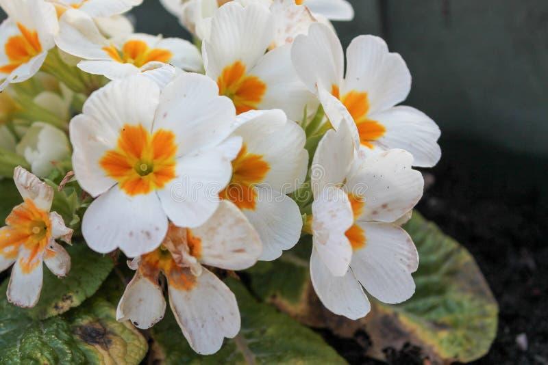Primrose or Primula vulgaris. White petaled Primrose flowers with a yellow centre stock photos